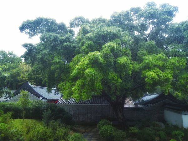 Growth Tree Nature Outdoors Green Color Plant Beauty In Nature Beauty In Nature EyeEm Gallery Enjoying Life Eye Em Nature Lover EyeEm Best Shots - Nature A Moment Of Zen... Mood Captures Roof Tiles Shapes , Lines , Forms & Composition Chinese Garden Chinese Architecture