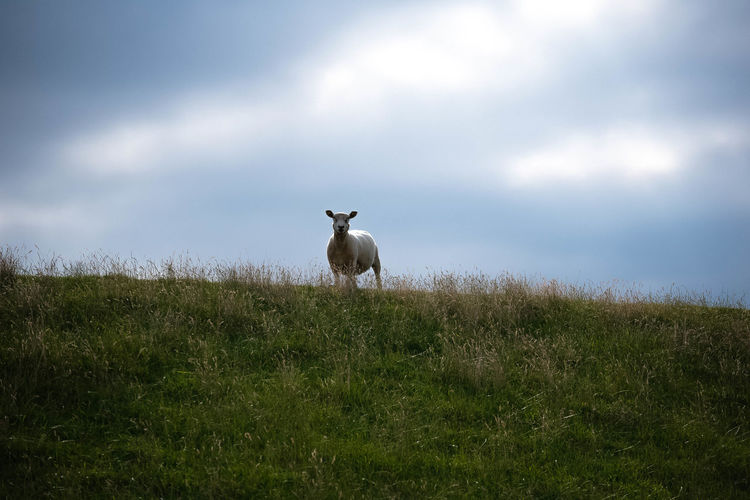 Deichgraf - sheep standing on the top of the dyke, with moody skylights in the backround Coastline Deich  Hamburg Moody Sky Nikon Open Edit Schaf  Sky And Clouds The Great Outdoors - 2018 EyeEm Awards Animal Themes Beauty In Nature Countryside Dike Domestic Animals Dyke  Eye4photography  Farm Animal Light And Shadow Light And Shadows Mammal Norddeutschland One Animal Seaside Sheep Sky