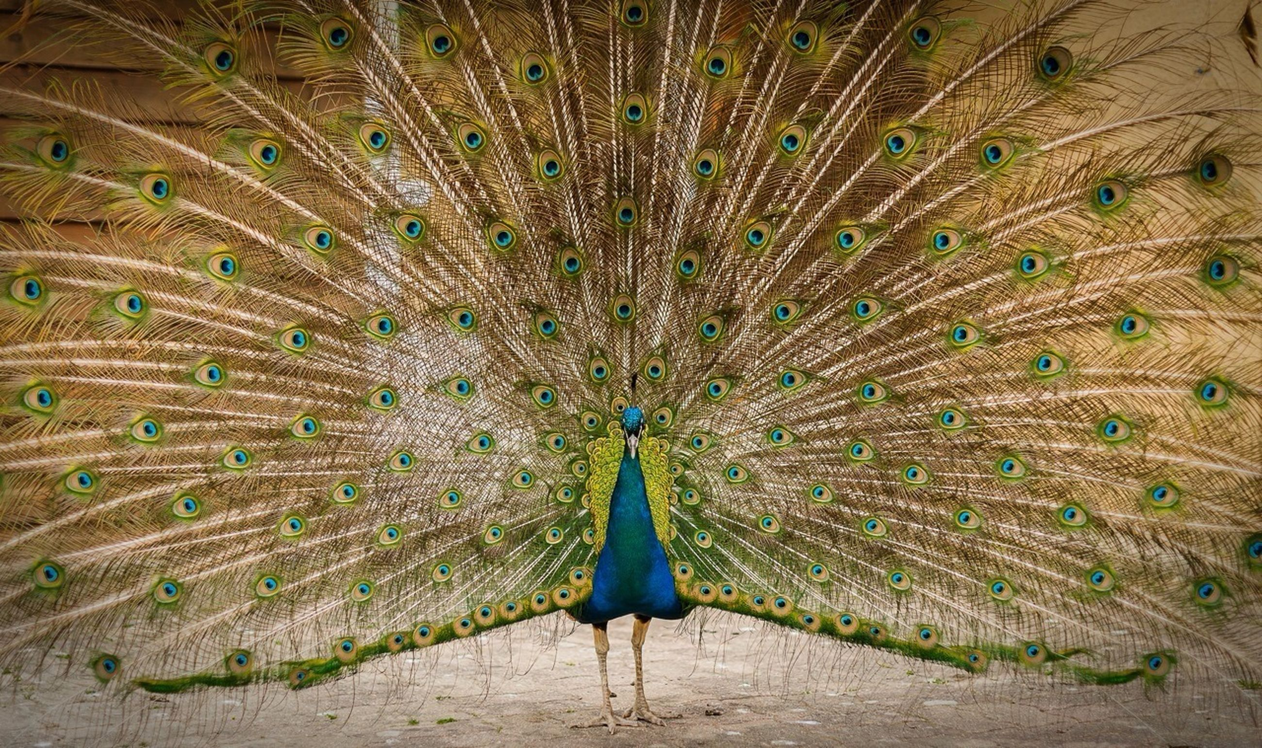 peacock, feather, one animal, animal themes, nature, beauty in nature, field, green color, pattern, natural pattern, outdoors, full length, wildlife, bird, grass, no people, growth, day, animals in the wild, tranquility
