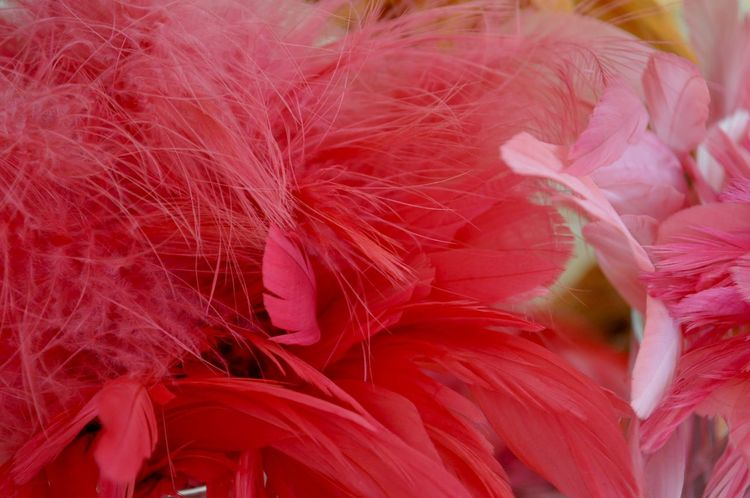 Beauty In Nature Close-up Day Feather  Fragility Freshness Growth Hat Making Inflorescence Lightweight Millinery Naturally Dyed Nature No People Pink Color Plant Red Softness Vulnerability