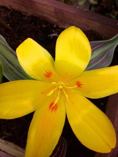 Tulip... Flower