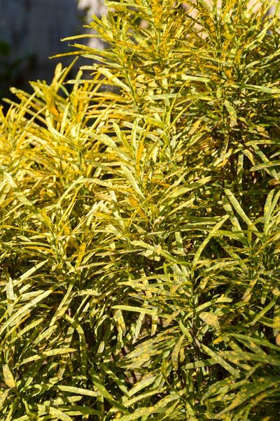 Codiaeum Variegatium Croton Freshness Natural Agriculture Beauty In Nature Close-up Day Foliage Fresh Freshness Green Color Growth Herb Leaves Nature No People Organic Outdoors Plant Variegated Laurel Yellow