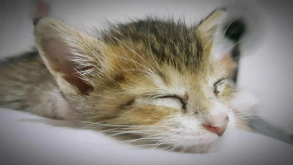 Sleeping 🐱 Sleeping Kitten Kitten Photography Kitten Adorable Kitten Love Kittenlove Kittenlovers 🐱 My Citten Is A Very Cute 🐱 Kittenoftheday Kitten Kitten 🐱 Kittens Of Eyeem Orphan Kitten Pet Portraits
