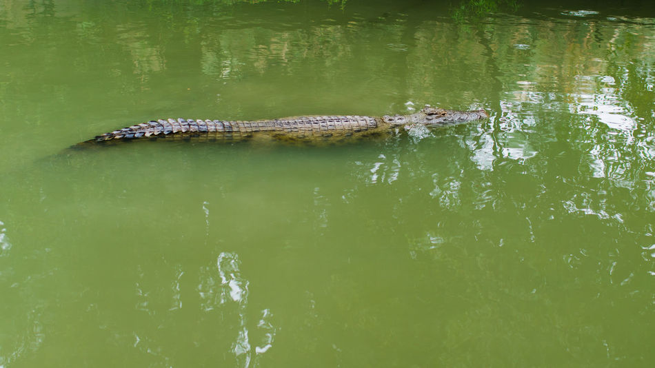 Alligator Animal Themes Animal Wildlife Animals In The Wild Beauty In Nature Crocodile Day Green Color Lake Nature No People One Animal Outdoors Reflection Reptile Swimming Water Waterfront