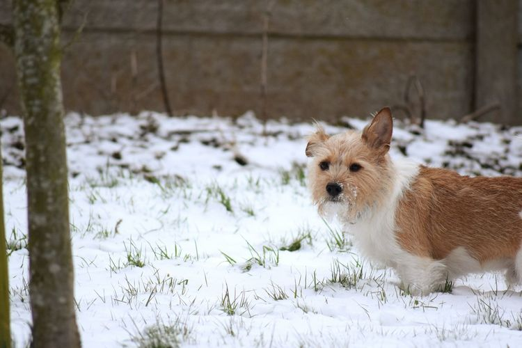 looking at camera dog It's A Dogs Life ❤ Snow ❄ Love Dogs Of Winter Jack Russell Dogs Of EyeEm Dogs Delicate Freshness Pets Snow Cold Temperature Winter Dog Snowflake Close-up Protruding Deep Snow Sticking Out Tongue