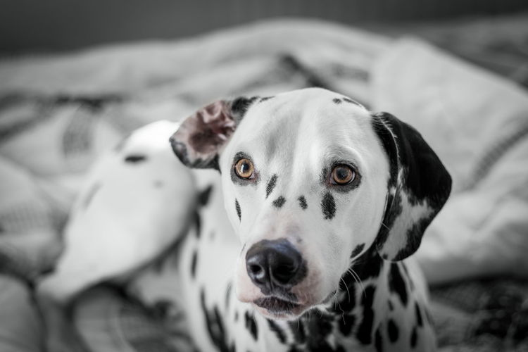 Dalmatian Dog Looking Away Indoors
