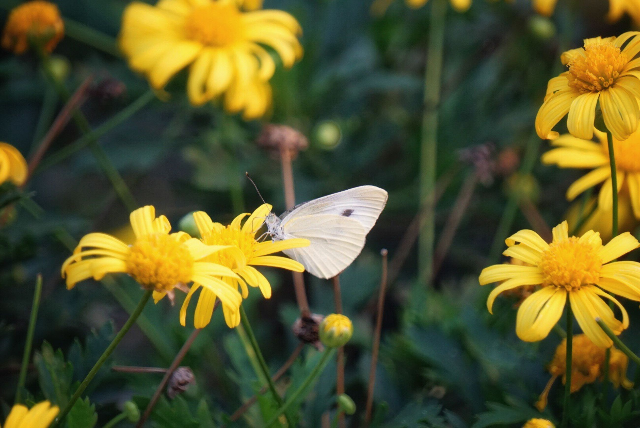 flower, petal, insect, freshness, yellow, fragility, wildlife, flower head, pollination, growth, beauty in nature, focus on foreground, close-up, nature, plant, blooming, pollen, symbiotic relationship, butterfly - insect, outdoors, day, stem, in bloom, no people, botany, blossom, selective focus