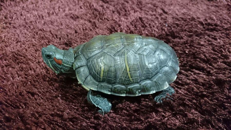High Angle View Of Turtle On Rug