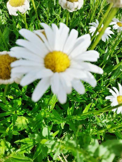 Paquerettes Parcbordelais Flowers,Plants & Garden