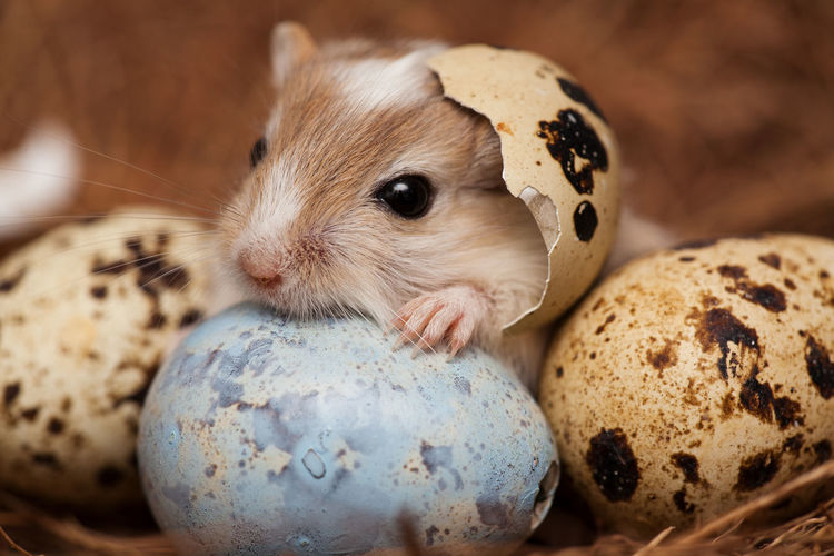 little easter suprise Animal Themes Blue Egg Close-up Cute And Sweet Domestic Animals Easter Easter Egg Easter Eggs Egg Shells Fragility Gerbil Gerbil Puppy Happy Easter Little Paw Looking At Camera Lovley  Mouse Pets Portrait Portrait Of A Mouse Puppy Quail Eggs Rodent Sweet Baby Whiskers