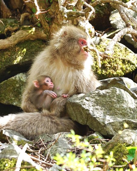 Baby monkey season has come to Jigokudani-Snow-Monkey-Park Animals In The Wild Monkey Animal Themes Two Animals Animal Wildlife Mammal Wildlife No People Animal Family Day Rock - Object Togetherness Outdoors Nature Young Animal Sitting Japanese Macaque Close-up Nagano Prefecture,Japan Neighborhood Map