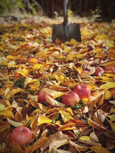 """Apple Harvest"" Apples fallen from their tree are waiting for harvest via shovel in a suburban backyard in the San Francisco East Bay Area, California. Harvest Fall Leaves Fall Colors Fall Autumn Leaves Autumn colors Autumn Shovel Apples Leaf No People Autumn Day Close-up Nature Focus On Foreground Falling"