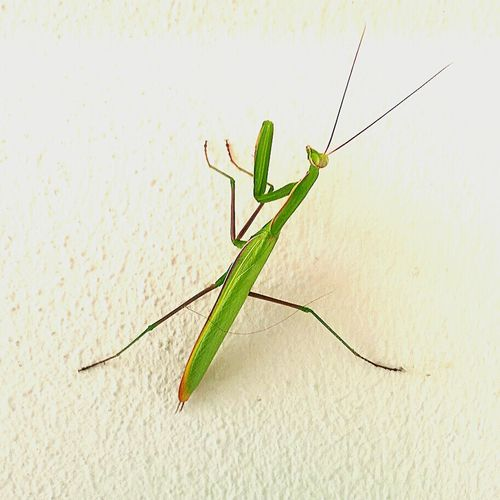 Praying Mantis Insect Photography Insect_perfection