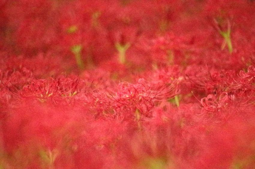 巾着田曼珠沙華公園 Pentaxk3 曼珠沙華 彼岸花 Red