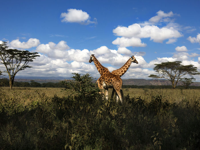 wildlife love and protection Animal Themes Animal Wildlife Animals In The Wild Beauty In Nature Cheetah Cloud - Sky Day Full Length Giraffe Grass Landscape Mammal Nature No People One Animal Outdoors Safari Animals Scenics Sky Standing Tree