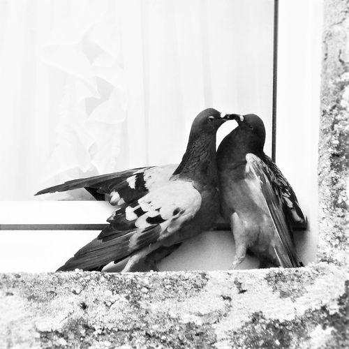 Fight Kiss Romance Animal Themes Animal Wildlife Animals In The Wild Bird Blackandwhite Dove Nature No People Outdoors Pigeon Quarrel