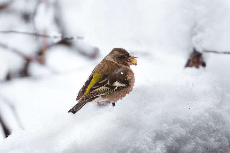 Winter Snow Winter Cold Temperature Bird Animal Themes Animal Wildlife Animals In The Wild Animal One Animal Vertebrate Day Nature Focus On Foreground Perching White Color Beauty In Nature No People Tree Outdoors Snowing