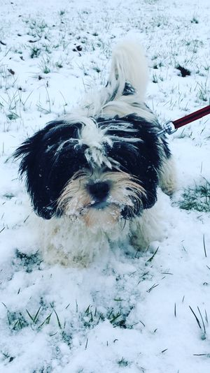 Puppy's first snowday Snow ❄ Snowday Puppy Lhasa Apso Scotland Winter Wonderland