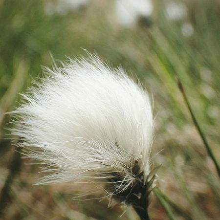 Cotton grass (Eriophorum vaginatum), between Holmfirth and Greenfield. Hiking Trail EyeEm Nature Lover . Nature_collection Nature_collection Landscape_collection EyeEmNatureLover