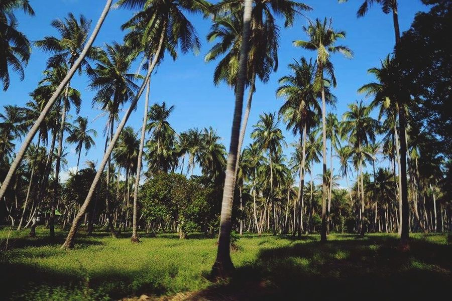 Palm Tree Nature Tree Green Color Tranquility Beauty In Nature Tree Trunk Sky Outdoors Grass Day Landscape Travel Destinations Beach Phangan Amazing View Islandlife Nature Beauty In Nature Palm Tree Lifestyles Suratthani Thailand EyeEmNewHere