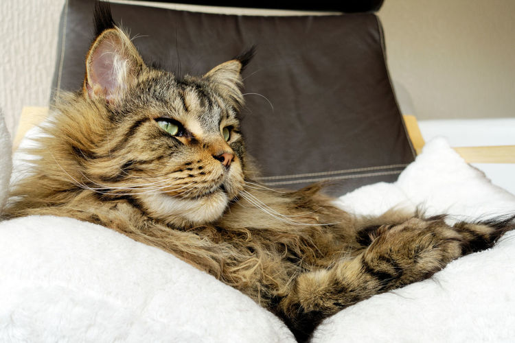 Brown tabby Maine Coon with long dense lynx tips laying on armchair Black Tabby Leather Maine Coon Cat Armchair Bed Brown Tabby Cat Domestic Domestic Animals Domestic Cat Ear Tufts Feline Furniture Home Interior Indoors  Looking Lying Down Lynx Tips Maine Coon Mammal No People One Animal Pets Relaxation Tabby