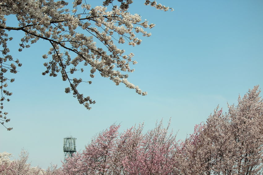 Flowers Nature Talking Photos Beautiful Nature Nature Photography EyeEm Nature Lover Flowerlovers The Purist (no Edit, No Filter) Sky Skylovers 散り始めました…あっという間だね🌸😢