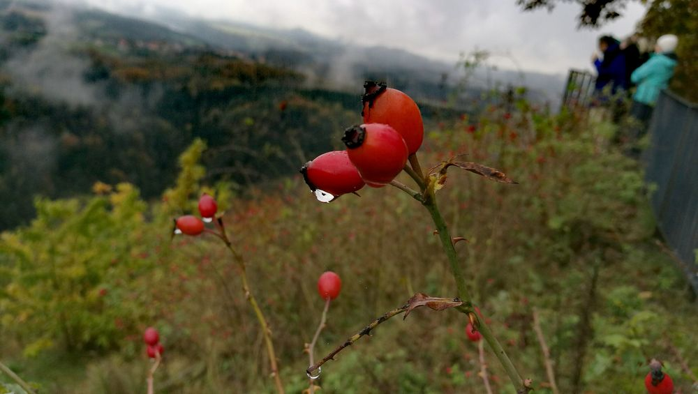 Nature Flower Red Growth Plant Beauty In Nature Outdoors Fragility Horizontal No People Close-up Freshness Day Raindrops Rose Hips Maximum Closeness Fog Foggy
