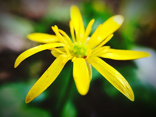 Yellow Flowering Plant Flower Freshness Flower Head Fragility Close-up Plant Vulnerability  Inflorescence Petal Beauty In Nature Pollen Focus On Foreground Growth No People Nature Outdoors