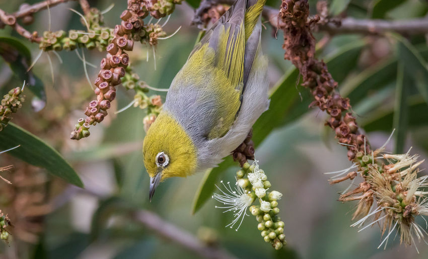 Silvereye feeding Animal Themes Beauty In Nature Bird Photography Birds Birds Feeding Close-up Day Flowering Focus On Foreground Green Growth Natgeo Nature Nature Photography No People Outdoors Pete Evans Pete Evans Photography Poular Photos Selective Focus Set Silvereye Small Bird Whiteeye Wildlife