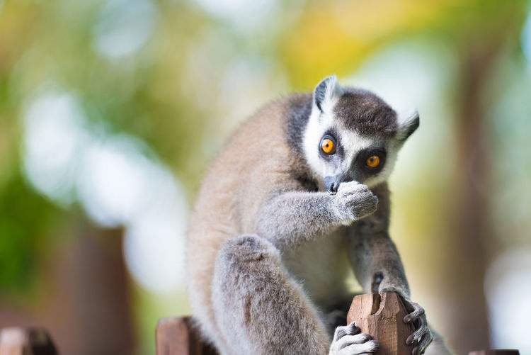 Close-Up Portrait Of Lemur Sitting On Fence