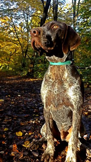 Animal Themes One Animal Pets Domestic Animals Dog No People Outdoors Tree Day Nature Close-up Forest Beauty In Nature Tree Nature Autumn German Shorthaired Pointer German Shorthair Pointer  Gsp Brown Sheriff Concentration Autumn🍁🍁🍁 Autumn Leaves Autumn Colors