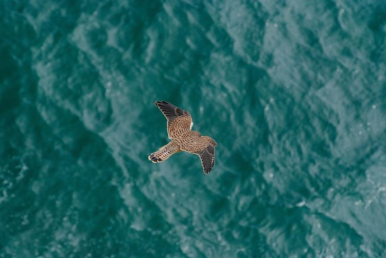 Bird of prey hovering over sea Water Waterfront One Animal Animals In The Wild Day Animal Themes Animal Wildlife Nature No People Spread Wings Outdoors Lake Bird Flying Beauty In Nature Close-up Bird Of Prey Bird Of Prey In Flight Dorset Coast Dorset,England