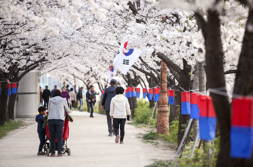 Casual Clothing Cheongsachorong Cherry Blossom Day Flag Full Length Large Group Of People Leisure Activity Lifestyles Medium Group Of People Men On The Move Outdoors People Person Rear View Road Spring Time Street Togetherness Transportation Tree Umbrella Walking Walkway