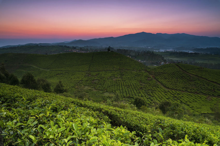 Morning view at Malabar Tea Plantation INDONESIA Tea Agriculture Beauty In Nature Day Farm Field Green Color Growth Landscape Mountain Nature No People Outdoors Pangalengan Plantation Rural Scene Scenics Sky Sunset Tea Crop Terraced Field Tranquil Scene Tranquility Village First Eyeem Photo