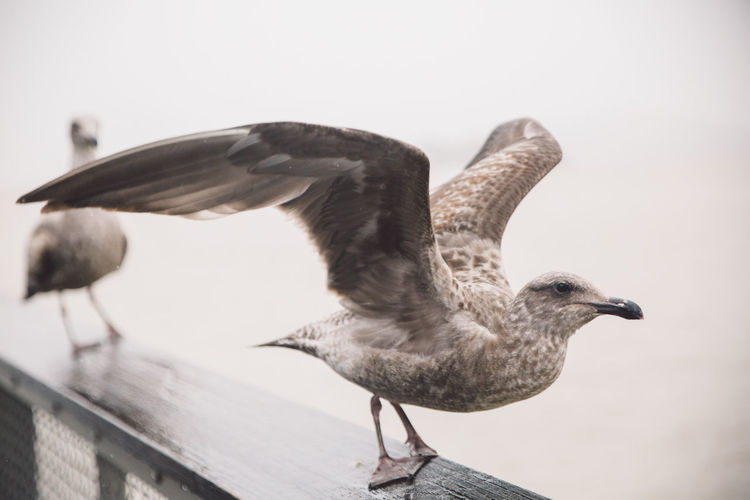Animal Themes Animal Wildlife Animals In The Wild Bird Clear Sky Close-up Day Flying Focus On Foreground Nature No People One Animal Outdoors Rainy Day Seagull Spread Wings Travel Visit