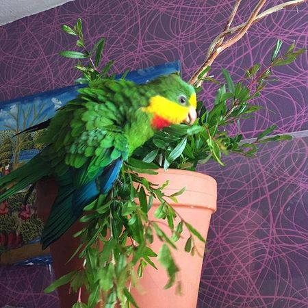 Kiki is happy Schildsittich Parrot Parrotlove in Frankfurt Frakfurtcity eyeem topolinopiccante