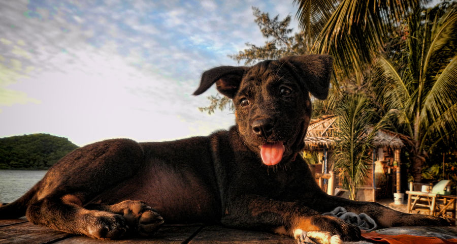 Animal Themes Beach Beach Dog Beach Photography Beachphotography Dog Lover Dogs Of EyeEm Dogslife Dog❤ Koh Phangan Portrait Puppy Puppy❤ Thailand Thailand_allshots Thailandtravel Tree