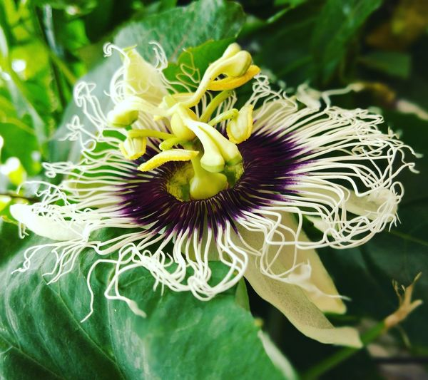เสาวรส Passion Flower Flower Head Flower Petal Purple Pollen Stamen Close-up Plant