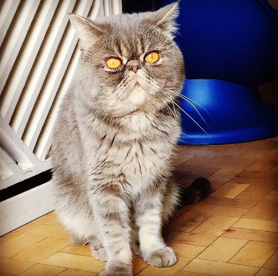 Cat Sweet Catoftheday Catslover Exotic Shorthair
