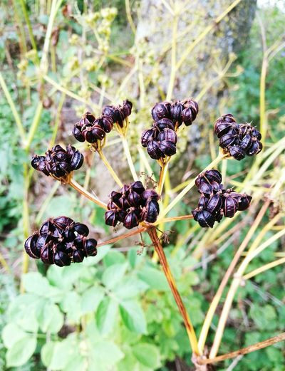 Close-up of black berries growing on plant