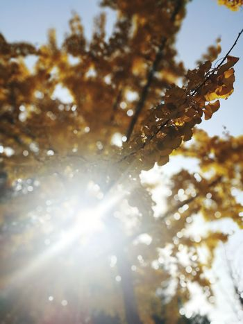 Sunlight Low Angle View Nature Outdoors Sunlight Beauty In Nature Gingo Tree Tree Beauty In Nature Sky Close-up Branch