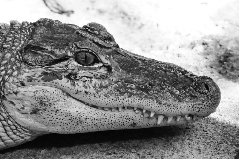 Alligator 2016 Juni Niklas Monochrome Photography Maximum Closeness BYOPaper! The Week On EyeEm Perspectives On Nature Black And White Friday