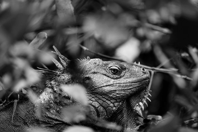 Black And White Friday One Animal Animal Themes Animals In The Wild Reptile Day Nature Animal Wildlife No People Outdoors Close-up Iguana