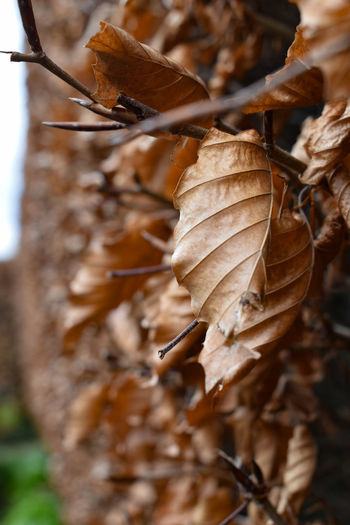Close-up of dried leaves on tree trunk