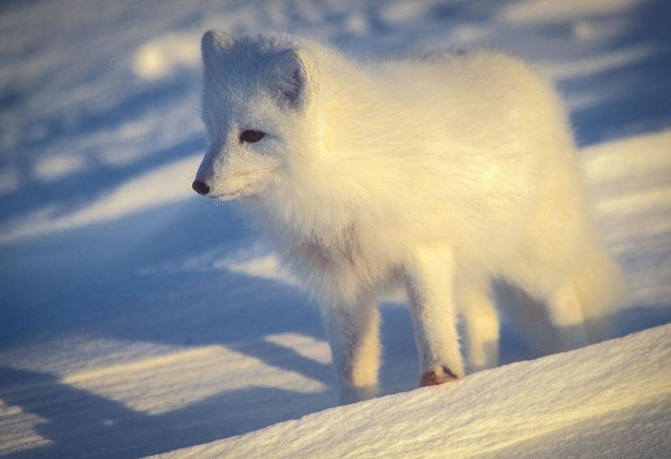 Arctic fox on snow field during sunset