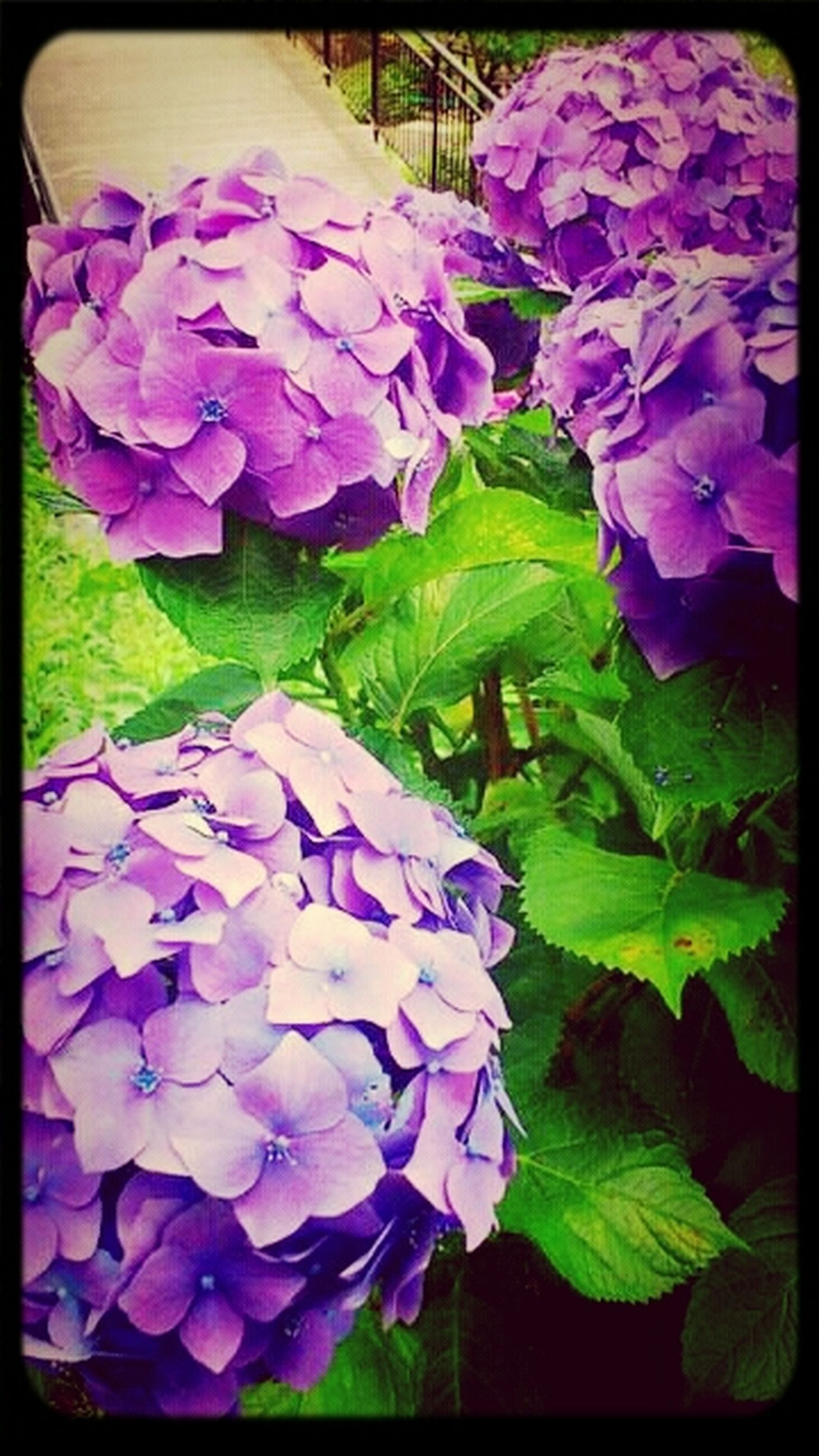 flower, transfer print, purple, freshness, petal, fragility, flower head, auto post production filter, beauty in nature, growth, plant, leaf, nature, blooming, close-up, blue, in bloom, outdoors, no people, park - man made space