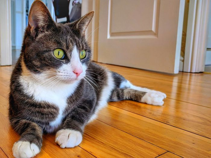 Domestic Cat Pets One Animal Indoors  Domestic Animals Animal Themes Looking At Camera Feline Hardwood Floor Mammal Portrait No People Sitting Day Close-up
