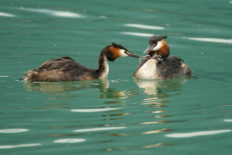 Family Of Great Crested Grebes Swimming In Lake