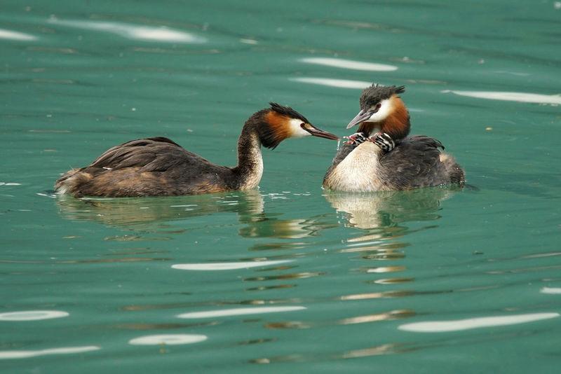 Tamron 150 600 Sonya7rm2 Water Lake Lago Pesce Svasso Maggiore Svassi Sony A7RII Lago Di Como, Italy Sony A7r2 Luca Riva