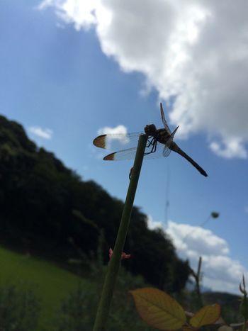 トンボ Dragon Fly